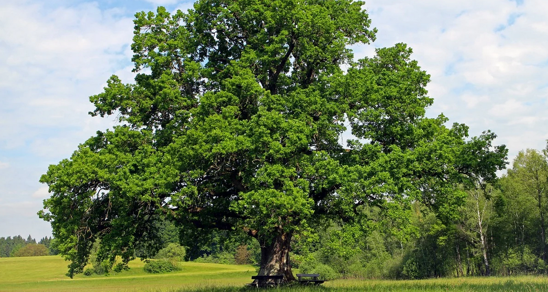 Comment élaguer un chêne